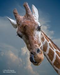 Hey You Down There! (Peeblespair) Tags: peeblespairphotography babygiraffe reticulatedgiraffe eyelashes babyanimals tall adorable cuteness raelawsonstudios giraffe wildlife