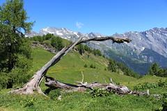 sur la Grand Garde (bulbocode909) Tags: valais suisse ovronnaz grandgarde troncs arbres forêts mélèzes prairies nature montagnes paysages vert bleu