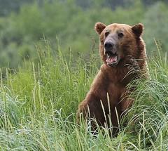 Alaska106 (lorstierlen) Tags: kodiak katmai nature bears wildlife seal