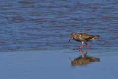 Redshank (David in SK6) Tags: redshank strangfordlough