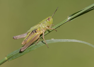 Meadow Grasshopper 12th July