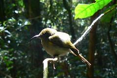 OliveSunbird