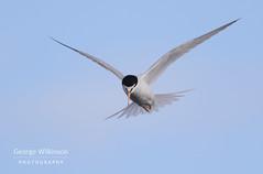 Little Tern (Sternula albifrons) (George Wilkinson) Tags: little tern sternaalbifrons beadnell northumberland england british uk wildlife bird canon 400mm mk ii 7d flight flying sternulaalbifrons