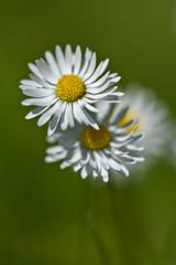 Daisies (pstenzel71) Tags: blumen natur pflanzen darktable flower bokeh gänseblümchen daisy bellisperennis spring