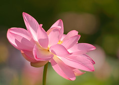 Pink Lotus (ksharp2) Tags: flower floral bloom blossom lotus lotusblossom summer pink white yellow green blurredbackground nature beautyinnature