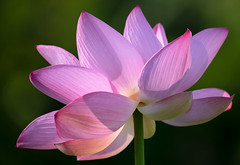 Lotus (ksharp2) Tags: lotus lotusblossom flower blooming pink white green blurredbackground nature beautiful beautyinnature summer lilypond
