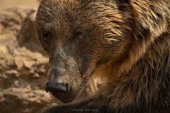 wild close up (@Katerina Log) Tags: bear attikazoopark katerinalog wild wildlife wildanimal closeup portrait outdoor depthoffield bokeh daylight fur eyes nature natura sonyilce6500 150600mmf563dgoshsm animal