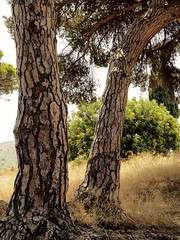 Mediterráneo (Ana De Haro) Tags: alella arboles pinos natural naturaleza barcelona catalunya mediterráneo