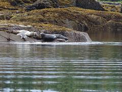DSC02521 (jrucker94) Tags: ketchikan alaska coastalwildlifesearch excursion cruise port nature ocean seal seals colony