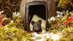 baby mouse in log pile house (1) (Simon Dell Photography) Tags: house mouse log pile door coconut mossy moss logs wood stack garden wild wildlife cute funny detail close up awesome viral ears eyes george mini mildred sheffield s12 hackenthorpe decorated summer images mice two mouses animals rodents
