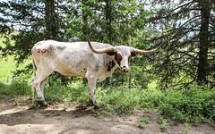 Along The Side of the Road (wyojones) Tags: wyoming absarokamountains sunlightbasin cody cattle bovine steer road longhorn trees sideofroad wyojones np