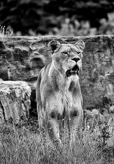 YWP: Lioness