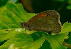 Butterfly (Jurek.P) Tags: butterfly motyle motyl strzępotekruczajnik smallheath macro nature natura jurekp sonya77