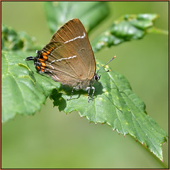 White-letter Hairstreak (image 2 of 3) (Full Moon Images) Tags: bedford purlieus wildlife nature reserve insect macro whiteletter white letter hairstreak butterfly
