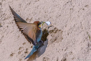 Bee-eater with prey for its young.
