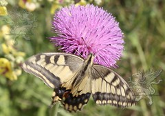 butterfly at Lucus Feronia 2018_05