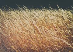26.07.18 (Kirby_Wilson) Tags: grass wildgrass summer hot warm sun golden