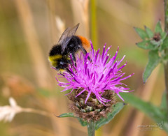 Kinneil Lagoons 24 July 2018 00009.jpg (JamesPDeans.co.uk) Tags: kinneillagoon forthemanwhohaseverything beeswasps gb printsforsale westlothian insects unitedkingdom idreqd bees scotland britain nature jamespdeansphotography wwwjamespdeanscouk landscapeforwalls boness greatbritain lothian europe uk digitaldownloadsforlicence bombuslapidarius