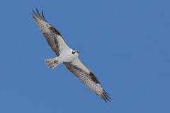 Osprey (Hammerchewer) Tags: osprey bird raptor wildlife outdoor yellowstone