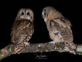 Tawny Owl and Owlet