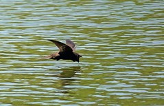 365 - Image 181 - Swift incoming for a drink... (Gary Neville) Tags: 365 365images 5th365 photoaday 2018 sony sonyrx10iv rx10m4 rx10iv m4 bif birdinflight swift garyneville