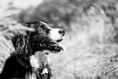 Soaking up the sunshine (Captain192) Tags: dog dogs collie spaniel spanielcolliecross bordercollie sprollie bagworth bagworthheath nationalforest leicestershire adaptedlenses manualfocus nikon50mmf18ais bw