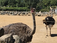 Ostrich - the world's largest (living) bird