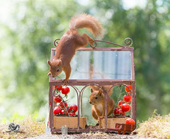 red squirrels and tomatoes in a Greenhouse (Geert Weggen) Tags: agriculture animal backgrounds closeup colorimage crop cultivated cute dirt environment environmentalconservation environmentaldamage environmentalissues food freshness gardening global greenhouse growth harvesting healthyeating horizontal humor lifestyles mammal nature newlife nopeople organic outdoors photography planetspace planetearth plant pollution red rodent seed socialissues springtime squirrel summer tomato vegetable garden bispgården jämtland sweden geert weggen ragunda hardeko