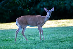 White-Tailed Deer (mayekarulhas) Tags: chaddsford pennsylvania unitedstates us deer animal canon canon500mm canon1dxmark2