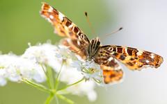 Landkaartje - Map Butterfly - Araschina levana (Wim Boon Fotografie) Tags: wimboon macro macrofotografie canoneos5dmarkiii canon100mmf28lismacro alblasserwaard holland nederland netherlands natuur nature