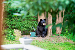 Bear in the yard!! (Bob Gundersen) Tags: bobgundersen robertgundersen gundersen nikon nikoncamera nikond600 sigma150500mmlens sigma guilford ct conn connecticut country connecticutscenes bear animal animalplanet interesting image outside outdoor foliage photo picture places scenes shots scene flickr green exterior tree yard birds bird