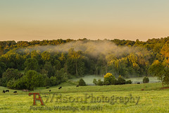 Rising to Treetop (TAWilsonPhotography) Tags: bedford morning fog mist cow farm rural pond