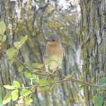 Eastern Bluebird, Timbers Nature Preserve, Murphy, Texas, July 14, 2018 thumbnail