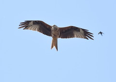 DSC_0565 (PeaTJay) Tags: nikond750 reading lowerearley berkshire outdoors nature birds birdsofprey redkite