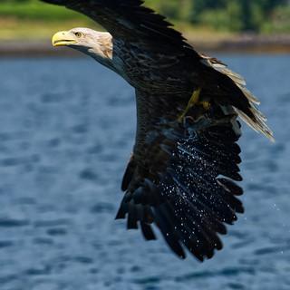 Sea Eagle~ AKA~ The Barn Door