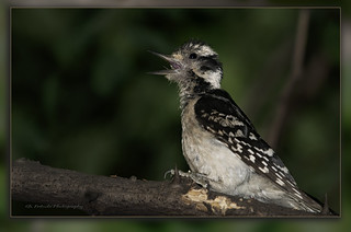Pic mineur / Downy Woodpecker / Picoides pubescens