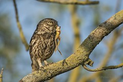 Little Owl (Athene noctua) with Frog (PeterBrooksPhotography) Tags: athenenoctua 200500 bird d500 eastsussex farm morninglight nikon portrait season summer sun sunrise sussex uk wildlife eyes habitat littleowlathenenoctua owl raptor tree wild ©peterbrooks