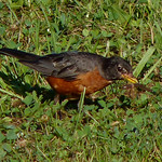 American Robin with a worm thumbnail