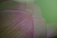 Softly (tez-guitar) Tags: lotus flower petal blossom bloom summer pentax pentaxart macro machida 町田 machida sigma