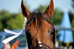 DSC_5972 (emina.knezevic) Tags: ribbon winner racing trotters harness harnessracing equestrian equestrianphotographer equestrianphotography animalphotography petphotography laurel horsehead horseportrait nikond3200 nikonphotographer nikon