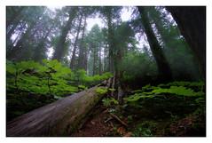 The Cedars of Revelstoke (VanveenJF) Tags: cedar grove boardwalk revelstoke canada bc columbia british heliar voigtlander wideangle sony a7ll tree sun fog rain green wet moody tourist hwy1 transcanada