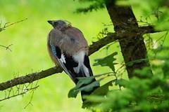 Jay (Jurek.P) Tags: birds bird ptak sójka jay summer nature natura jurekp sonya77