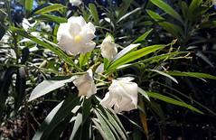 Oleander (Svetla (ribonka 78)) Tags: europe italy italia sicilia siracusa travel
