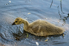 A walk round Lochend Park June 2018-39 (Philip Gillespie) Tags: edinburgh scotland canon 5dsr park nature birds chicks young baby swans ducks geese seagulls pigeons water wet splash wave outdoor outside trees grass reeds branches leaves bills feet fur feathers sun sunlight sky clouds colour green blue orange yellow wildlife lake pond pool eyes flying nesting babies landing flowers petals black white magpie mono monochrome