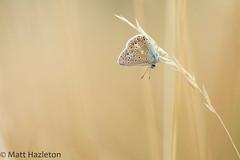 Common blue (Matt Hazleton) Tags: commonblue butterfly insect wildlife nature animal outdoor canon canoneos7dmk2 canon100400mm eos 7dmk2 100400mm macro polyommatusicarus summerleys bcnwildlifetrust northamptonshire matthazleton matthazphoto