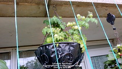 Tomatoes 'Red Robin' in hanging basket on balcony from outside 22nd July 2018 002 (D@viD_2.011) Tags: tomato plants flowering fruiting balcony 22nd july 2017 tomatoes red robin hanging basket