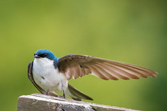 More Tree Swallows That Way (rigloc@) Tags: wing tree swallow feathers