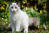 Wollie (Borretje76) Tags: rx10m4 dscrx10m4 1sensor tuin kat huisdier pet cat animal kater ragdoll garden flowers rx10iv rx10 rx10mk4
