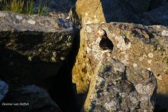 Go away ... this is my rock! (Desireevo) Tags: northern norway norge noorwegen landscape landschaft landscapes mountain mountains puffin papegaaiduiker puffins rock rocks sun sunlight sunset sunshine birds bird nature outdoors desireevanoeffelt