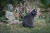 Siva and Buddha (Jana`s pics) Tags: cat katze greycat buddha statue animal tier pet haustier grey grau grauekatze garden garten